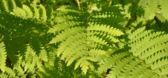 A fern. Is a member of a group of vascular plants that reproduce via spores and have neither seeds nor flowers Royalty Free Stock Photography