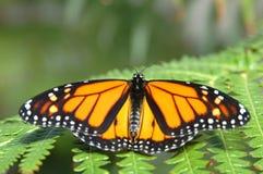 fern monarchów Obraz Royalty Free