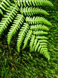 Fern moss on Royalty Free Stock Image