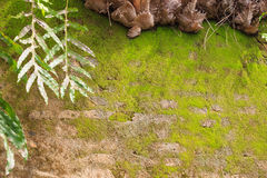 Fern and Moss on the old wall texture Stock Photos
