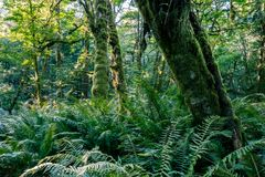 Fern and mossy trees Stock Image