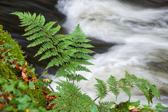 Fern with moving water behind. Fern growing next to flowing water, at Kennall Vale gunpowder works, Cornwall, United Kingdom Stock Photos