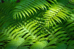 Fern nature background Royalty Free Stock Photography