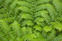 Fern new frond Stock Photos