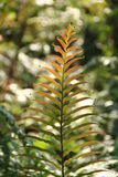 Fern. A New Fern Frond Opening Stock Photography