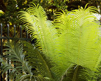 Fern new growth Stock Images