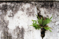 Fern on old cracked wall royalty free stock photo