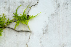 Free Fern On Vintage Wall, Fern Background And Empty Area For Text, Nature On White Background Stock Images - 61760304