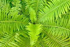 Fern ornament Royalty Free Stock Photography