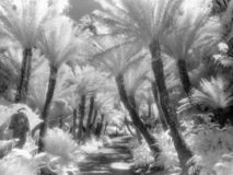 Fern Path in Infrared. Fern lined path in Golden Gate Park, San Francisco shot on infrared film rendering the foliage white and the sky dark Stock Photo
