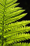 Fern pattern Royalty Free Stock Images