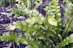 Fern. Phyllitis scolopendrium - fern resembling very long tongue Stock Photography