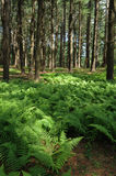 Fern in a Pine Forest Royalty Free Stock Photos