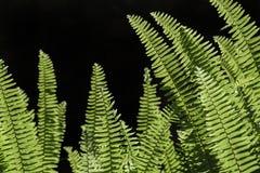 Fern plant Stock Image