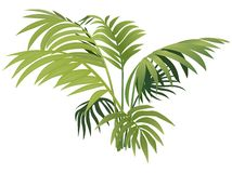 Fern plant. Colored illustration, Vector Royalty Free Stock Image
