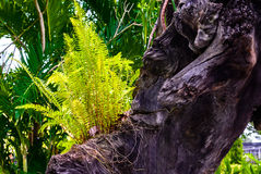 Fern plant growing on old tree stump in garden Stock Photo