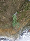 Fern plant growing on rocks on January 7 2018 in western Indiana. Fern plant growing on rocks in western Indiana taken on January 7 2018 before freezing rain royalty free stock photography