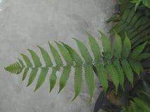 It is Fern plant or Fern leaves. It is Fern plant, specially it is beautiful Fern Leaves Stock Photos