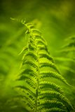 Fern plant Royalty Free Stock Photos