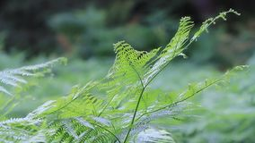 Fern plant in the nature stock video
