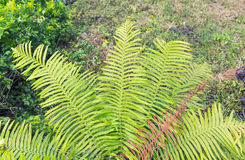 Fern plant. NatureFern leaf growth  forest fernplant flora  green cover Royalty Free Stock Photos