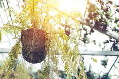 A Fern In Plant Pot Hanging On Ceiling Stock Image Image Of Plant