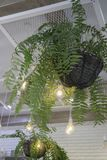 Fern in plant pot hanging on ceiling Royalty Free Stock Images