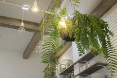 Fern in plant pot hanging on ceiling Stock Photos