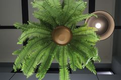 Fern in plant pot hanging on ceiling Stock Images
