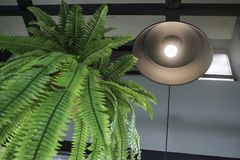 Fern in plant pot hanging on ceiling Stock Photo