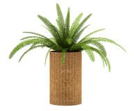 Fern plant in pot isolated on white Royalty Free Stock Photo
