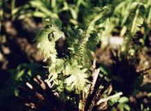 Fern plant sunlight garden green color leaf forest. Fern green leaf plant nature close-up sunlight garden Stock Image