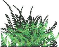 Fern plant - Vector. Vector illustration of green fern leaves Royalty Free Stock Photos
