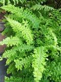 Fern plants Stock Image