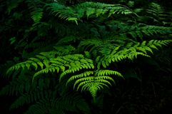 Fern plants with bright green colors on dark background. Green fern plants growing in the forest Stock Photos