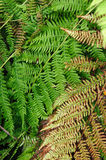 Fern plants Royalty Free Stock Image