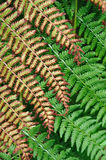 Fern plants Stock Images