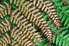 Fern plants Stock Photography