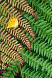 Fern plants Royalty Free Stock Photo