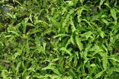 Fern plants cover the ground Royalty Free Stock Photo