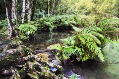 Fern plants in forest. Beautiful pools and some fern plants all around them in Semuc-champey Stock Photo