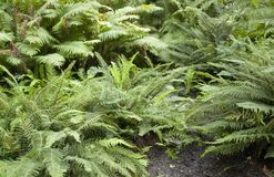 Fern plants Royalty Free Stock Photography