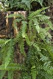 Fern plants. Some fern plants in natural ambiance Royalty Free Stock Photography