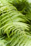 Fern plants in the woods Stock Image