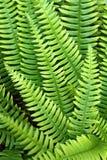 Fern Polypodium vulgare Stock Images