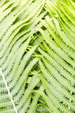Fern polypody adder`s tongue plant abstract background, texture Royalty Free Stock Image
