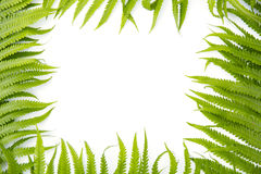 Fern polypody adder`s tongue plant as frame on white background, space for text, nature greeting card Stock Images