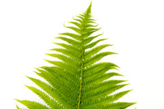 Fern polypody adder`s tongue plant Royalty Free Stock Photography