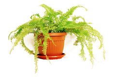 Fern in a Pot. Houseplant fern with long green leaves in a brown pot isolated on white background Stock Photos