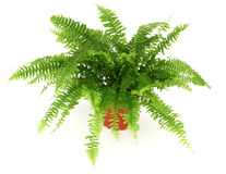 Fern in a pot. Isolated on white royalty free stock photo